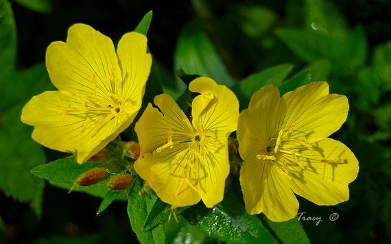 Primrose seeds showy evening yellow winter hardy to zone etsy image 0 mightylinksfo