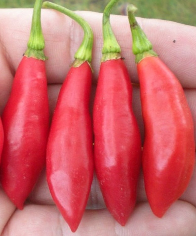 Chinense Trinidad Beans Pepper Seeds,Very  rare and hot Very Productive. C