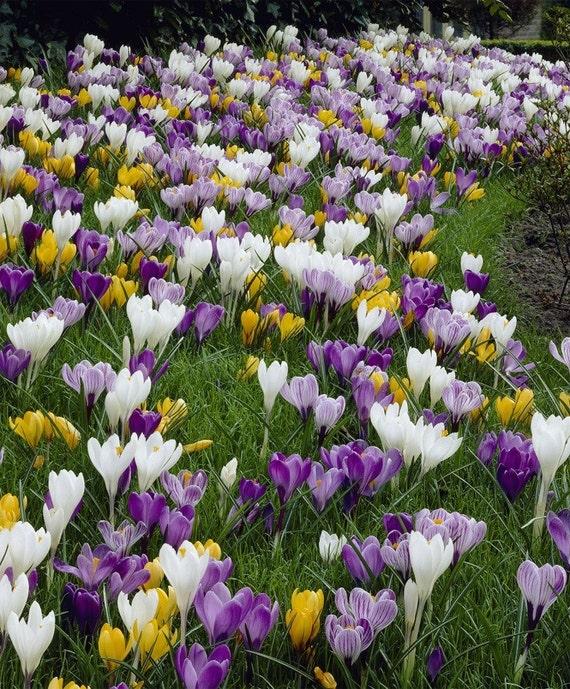 77992281e468d5 CROCUS Bulbs LARGE FLOWERING Mix White purpleblue