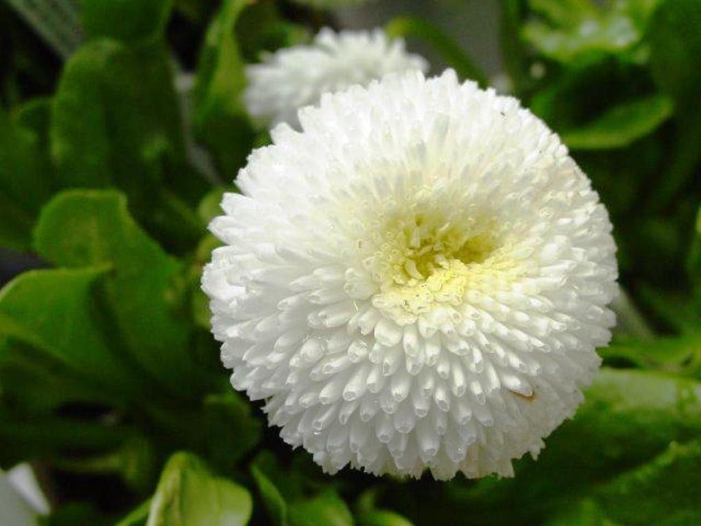 English daisy bellis seeds white super enorma double white etsy zoom izmirmasajfo