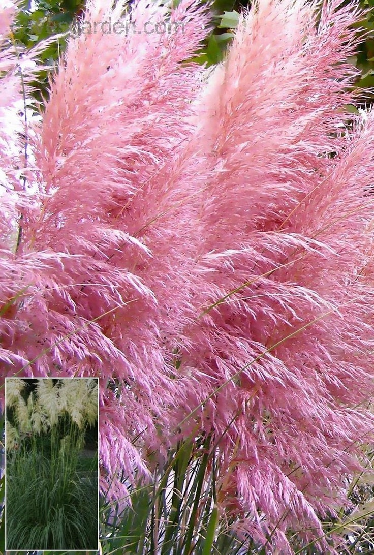 Pink Pampas Grase Seeds Aka Pink Feather Pink Plume Etsy