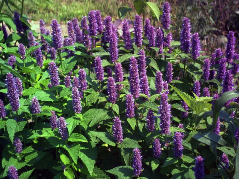 Image result for giant hyssop
