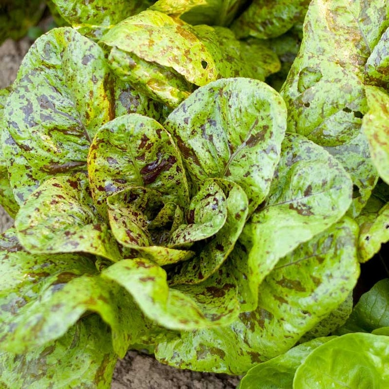 freckles Romaine lettuce seed,Great For baby leaf or full size