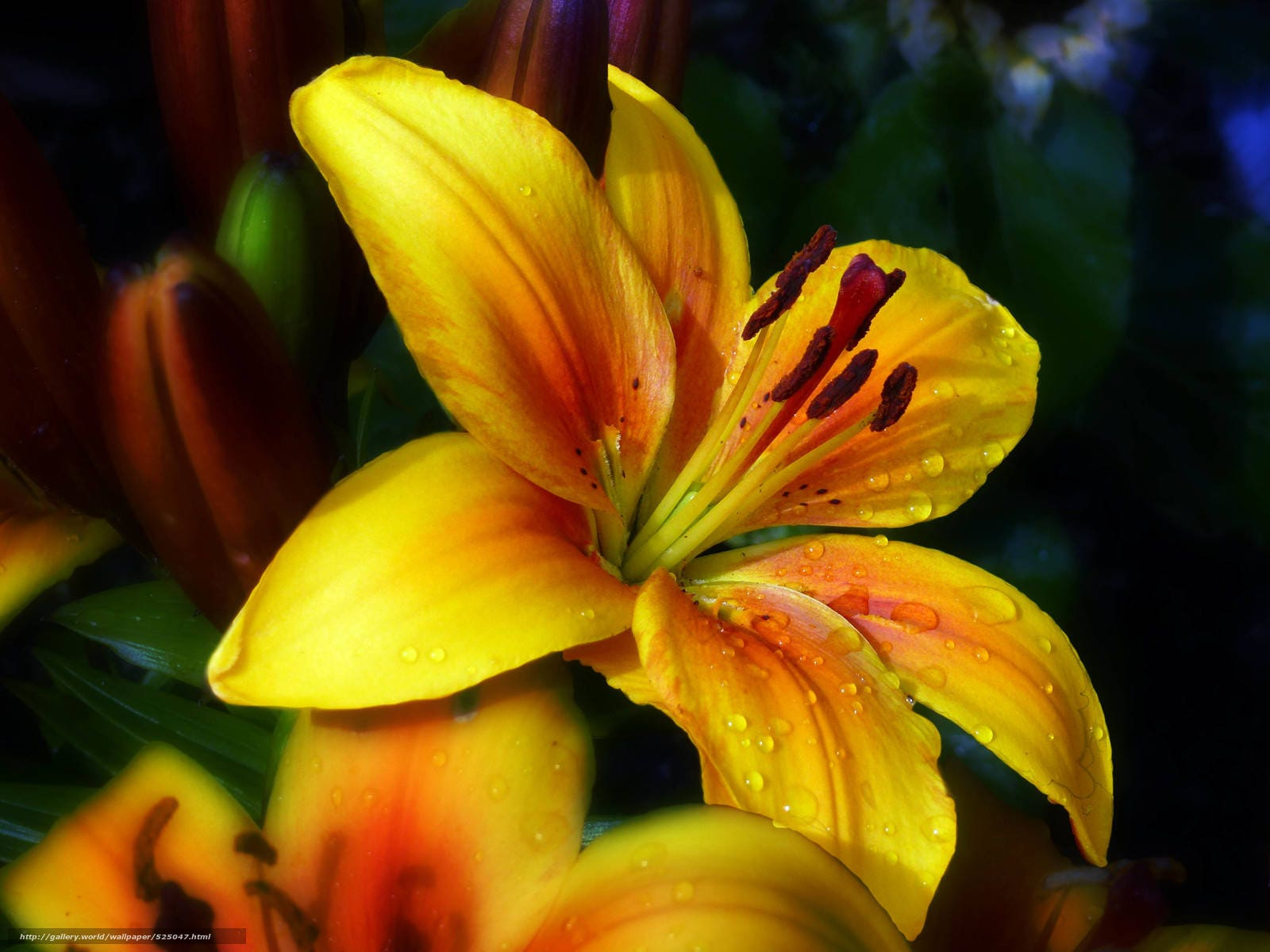GOLDEN JOY 5 x Dwarf Lilies Perennial Garden Lily Plant BULBS