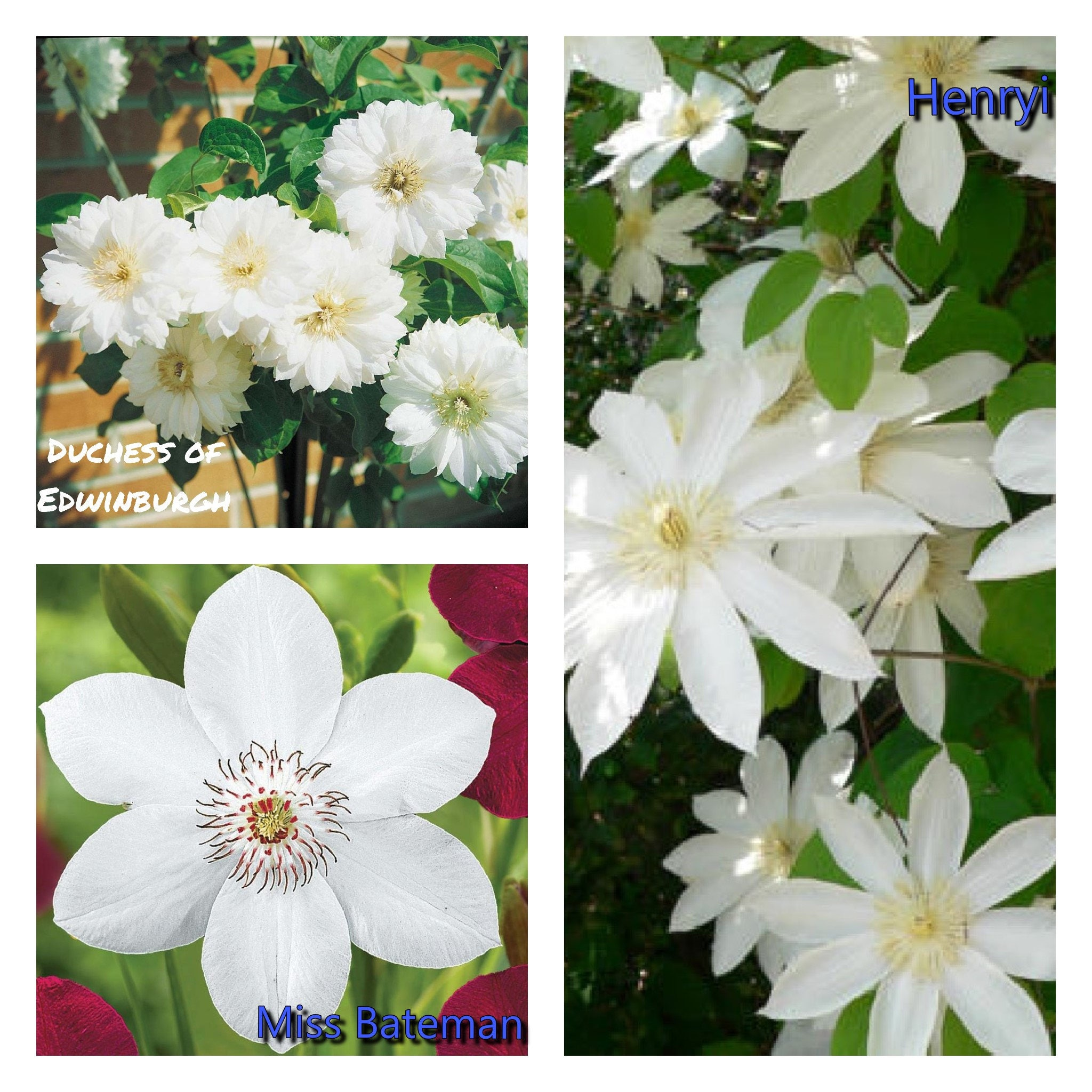 Elegant White Clematis Mix Bare Root Early Large Flowered Etsy