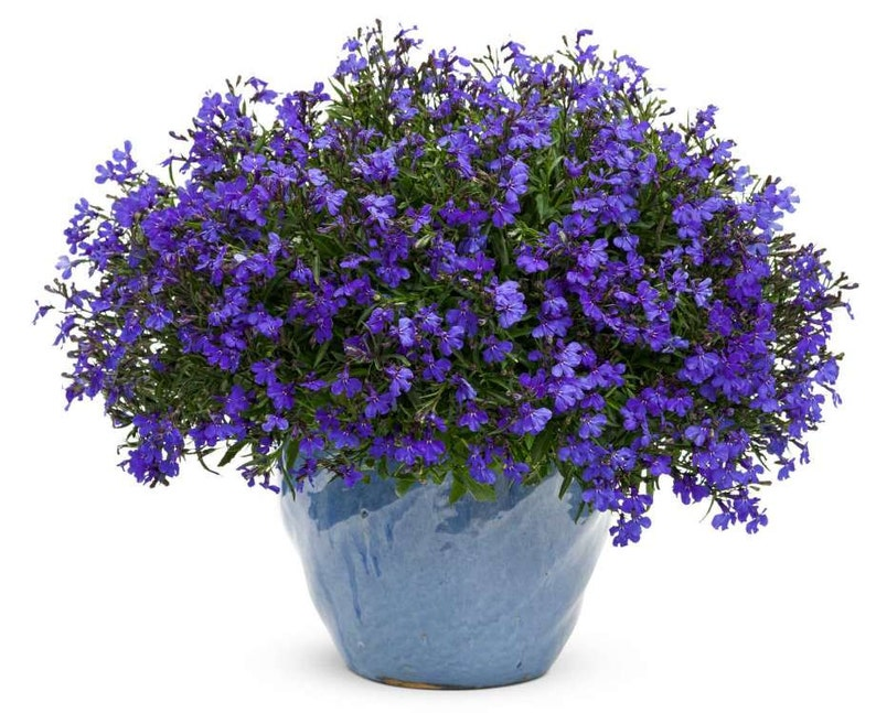 Lobelia Seeds Cobalt Blue Blue Carpetshowy And Dependable Etsy