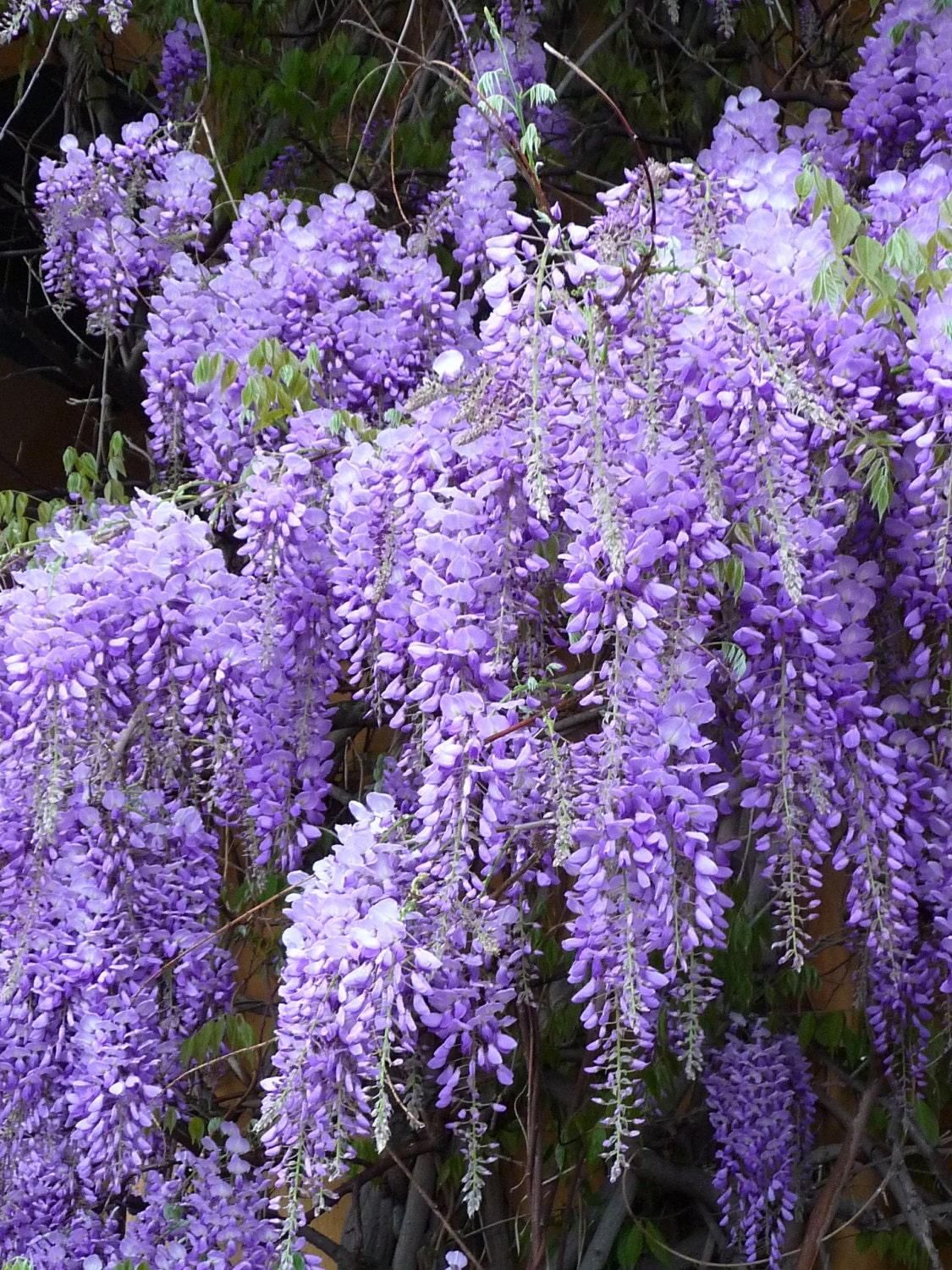 Blue Chinese Wisteria Seeds Wisteria Sinensis Perennial Etsy