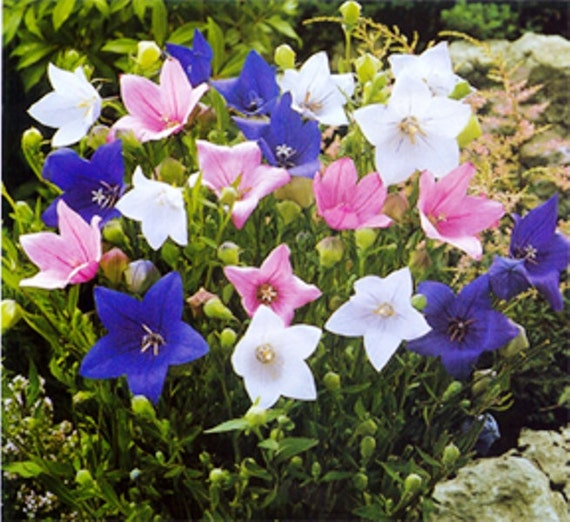 Balloon flower seeds mixed blue pink and whitechinese bell etsy image 0 mightylinksfo