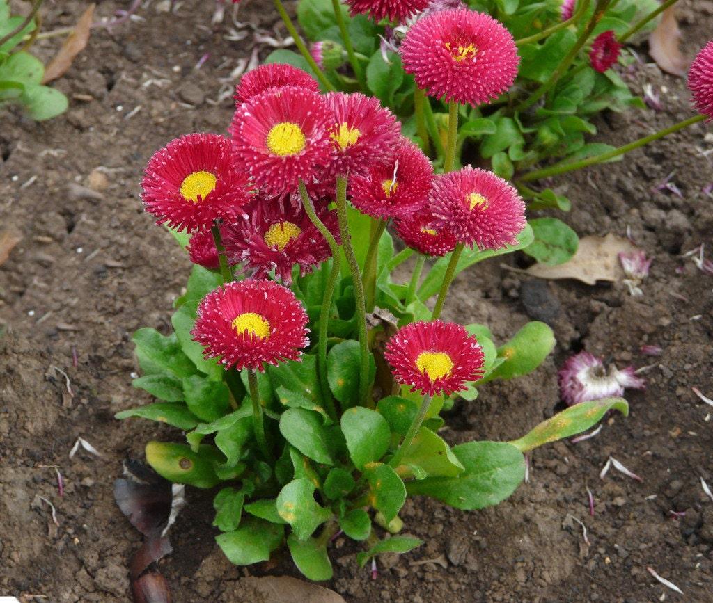 Bellis seeds red english daisy bellis perennis super etsy zoom izmirmasajfo