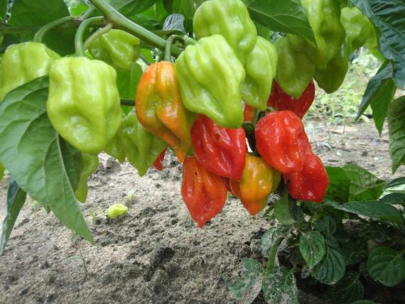 C 197 Fresh Heirloom Red Tobago Scotch Bonnet Hot Pepper Seeds 25