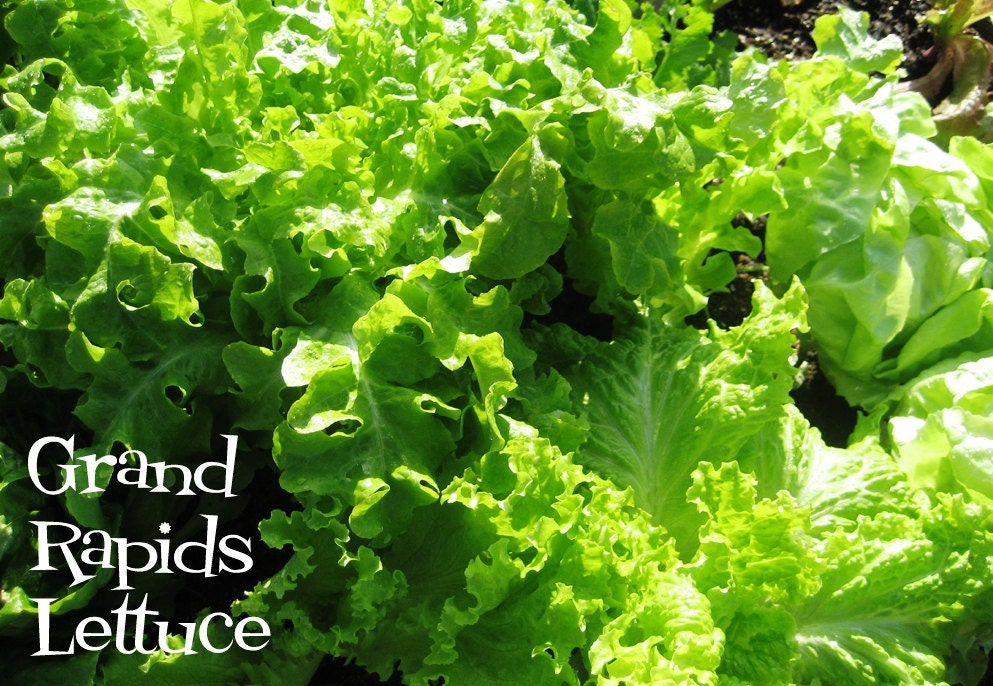 LettuceGrand Rapids Lettuce Fresh Heirloom Organic