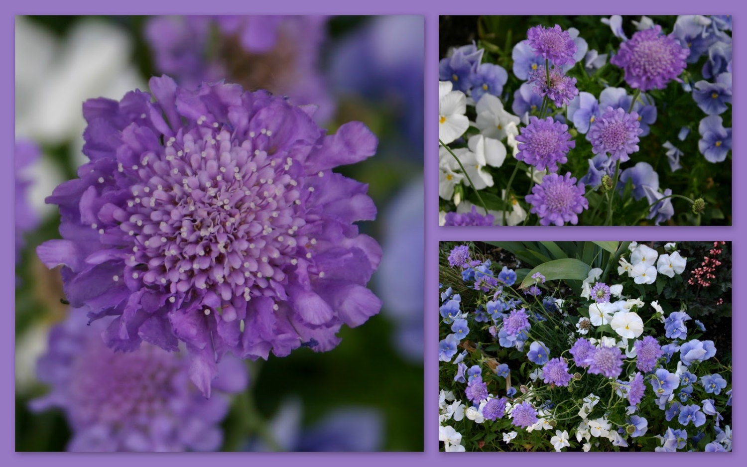 Scabiosa Seeds Purpleflowers Seedscommonly Known As Etsy