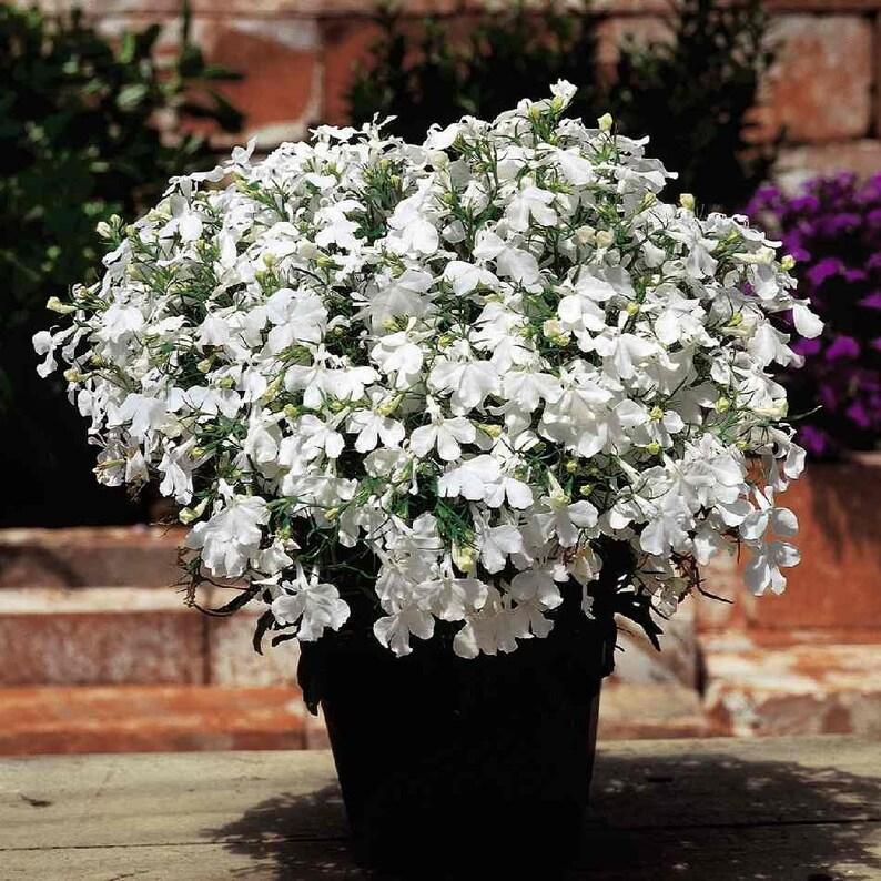 Lobelia Lobelia Erinus White Lady Grown From Lobelia Etsy