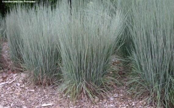 Little Bluestem Ornamental Grass Seeds Schizachyrium