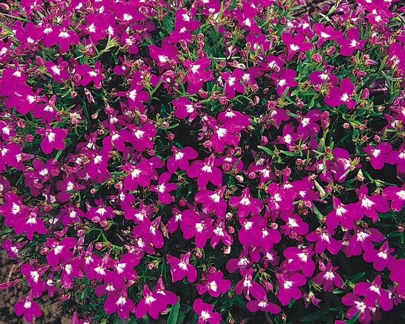 Lobelia Seeds Rosamond Lobelia Erinus Compact Trailing Etsy