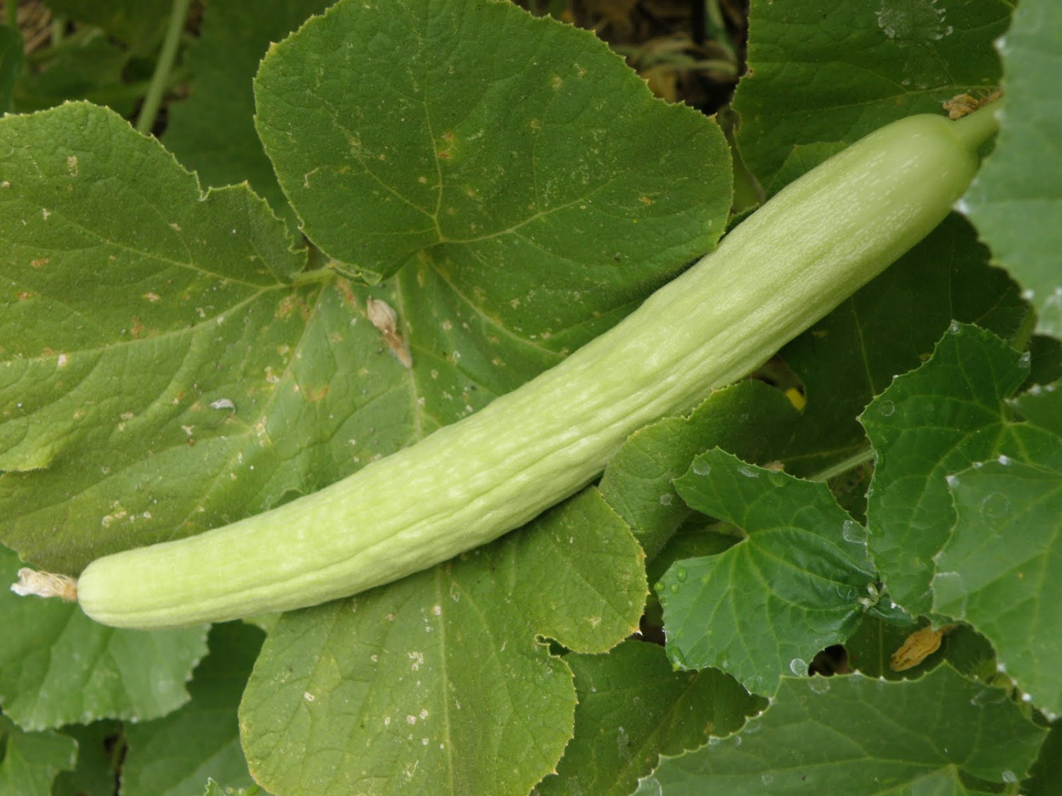 "Picture of Live Cucumber Armenian aka Cucumis melo var. flexuosus JB Vegetable Plant Fit 4"" Pot"