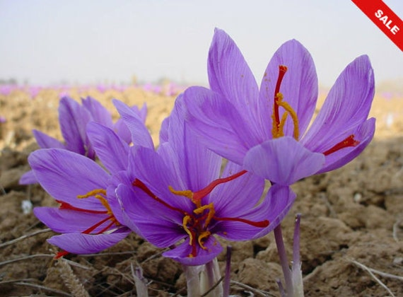 fc8f50c67dec16 Saffron Plant Bulbs - Rare Spice Crocus Sativus- Grow One of the World s  Most Expensive Spice In Your Own
