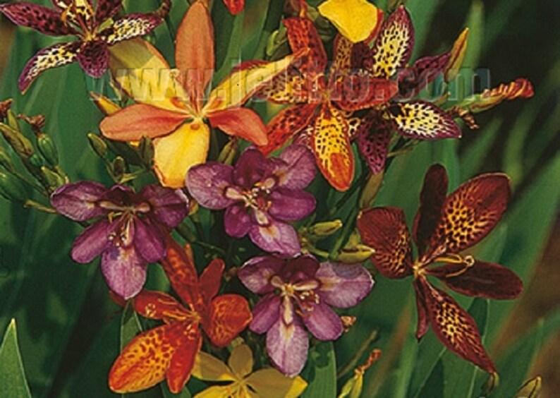 Candy Lily Seeds -(mixture) PARDANCANDA norrisii 'Dazzler' dwarf  strain eye-catching flower for the garden