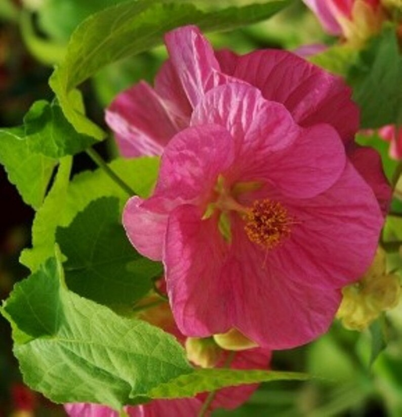 Abutilon Seeds Pinkalso Know As Flowering Maple Etsy
