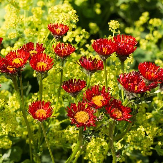 Erigeron seeds orange fleabane daisy daisy like flowers etsy image 0 mightylinksfo