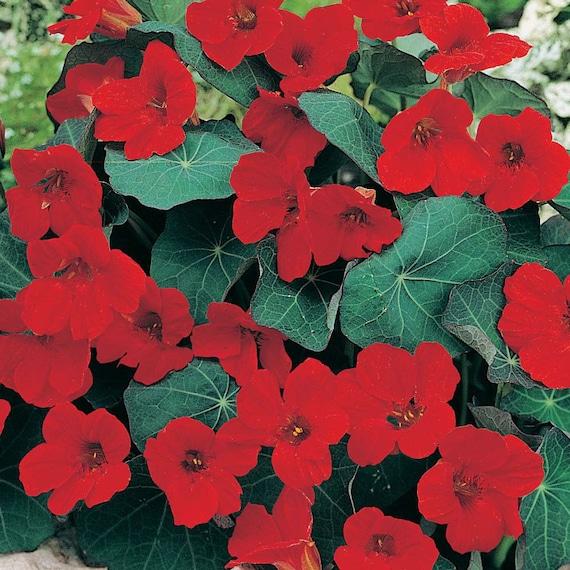 Kapuzinerkresse EMPRESS OF INDIA 20 Samen Kressesamen essbare Blüten Seeds