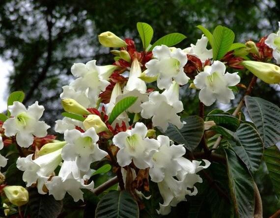 Easter lily vine seedsbeaumontia grandiflora heralds etsy 50 mightylinksfo