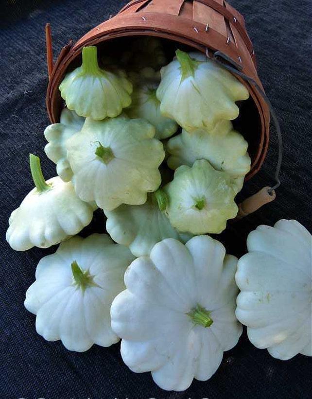 Squash summer early white bush scallop squash vegetable etsy image 0 mightylinksfo