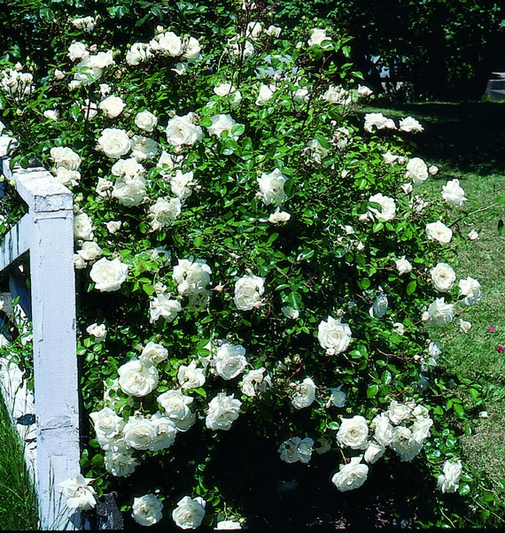 Climbing rose seeds white flowers perennials fence etsy image 0 mightylinksfo