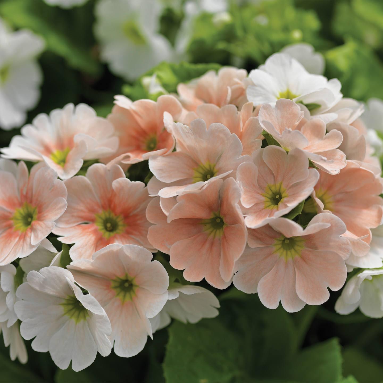 Detalle de flores rosadas de la prímula obcónica