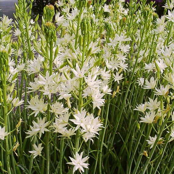 Camassia leichtlinii plena alba white wild etsy image 0 mightylinksfo