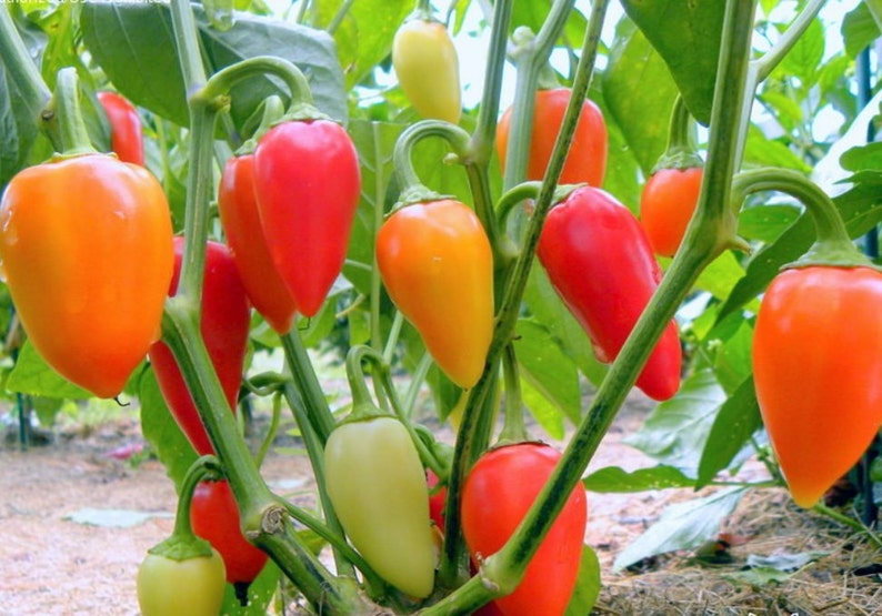 b726171797af PepperSanta Fe Grande Hot Peppers Seedsalso known as Guero