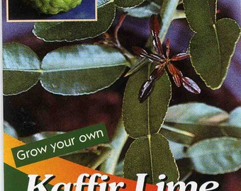 KAFFIR LIME Plant SEEDS - Citrus Hystrix-makrut,or magrood, Great In Containers ! leaves are highly aromatic""