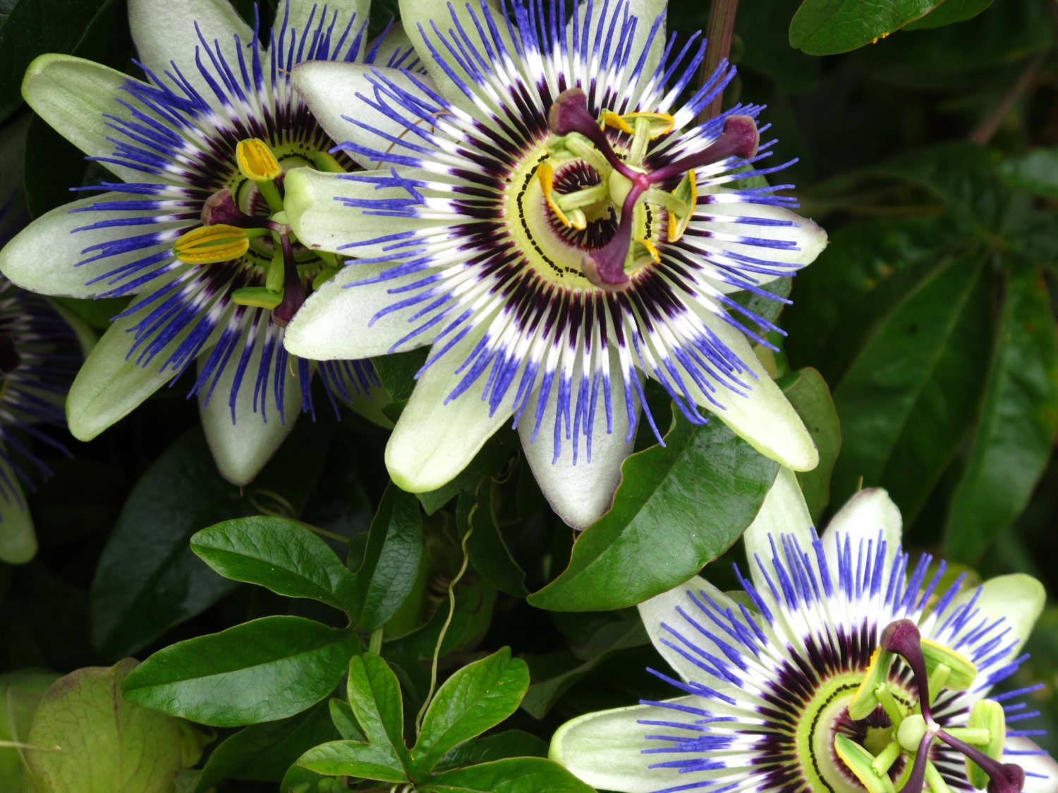 Blue Passion Flower Bluecrown Passionflower Passion Flower Etsy