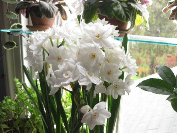Ziva Paperwhite Flower Bulbs Fragrantsnow White Etsy