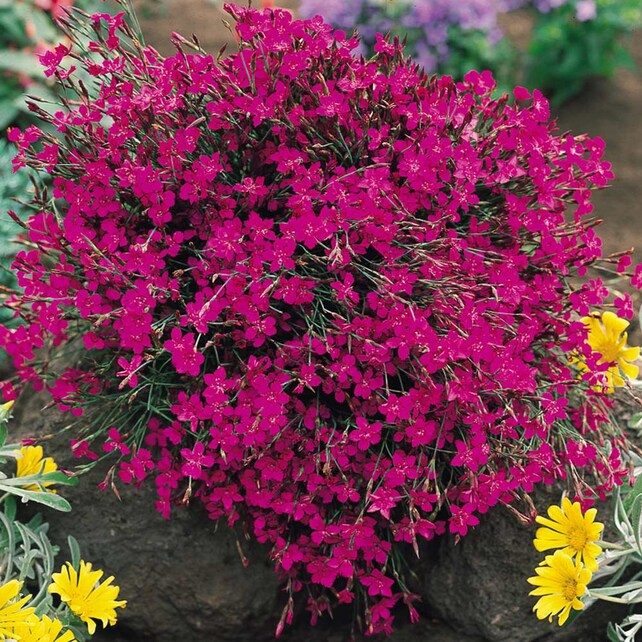 Dianthus flowers seed maiden pinks dianthus deltoides etsy image 0 mightylinksfo