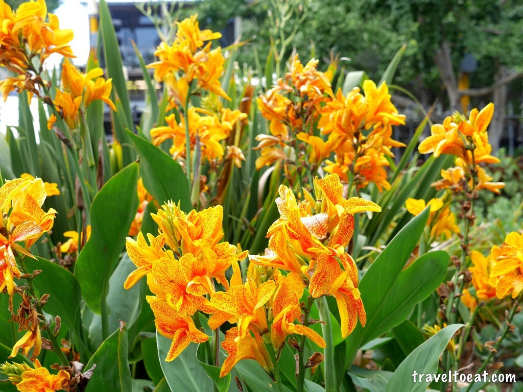 Canna Lily Yellow King Humbert Bulb 2 3 Eyes Bulbs Give Etsy