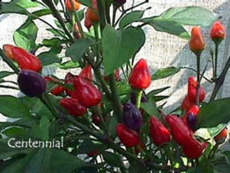 Centennial PEPPER seeds ornamental and edible Great for growing in a patio planter Beautiful Delicious,Pepper Container and Garden bed.