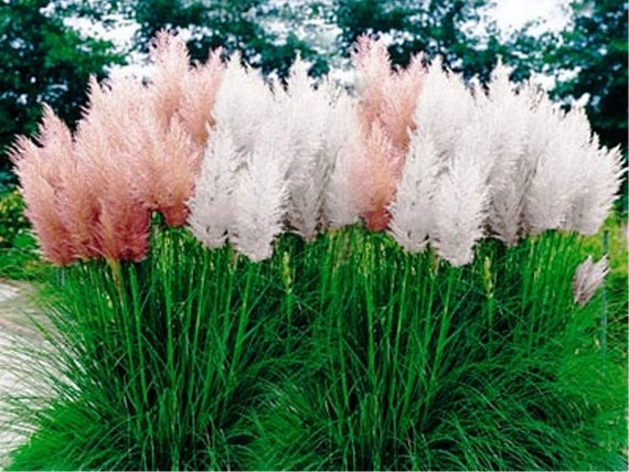 Ornamental Grasses Zone 7 Pampas grass mix cortaderia selloana fast growing ornamental pampas grass mix cortaderia selloana fast growing ornamental grass seeds perennial zones 7 10 from caribbeangarden on etsy studio workwithnaturefo