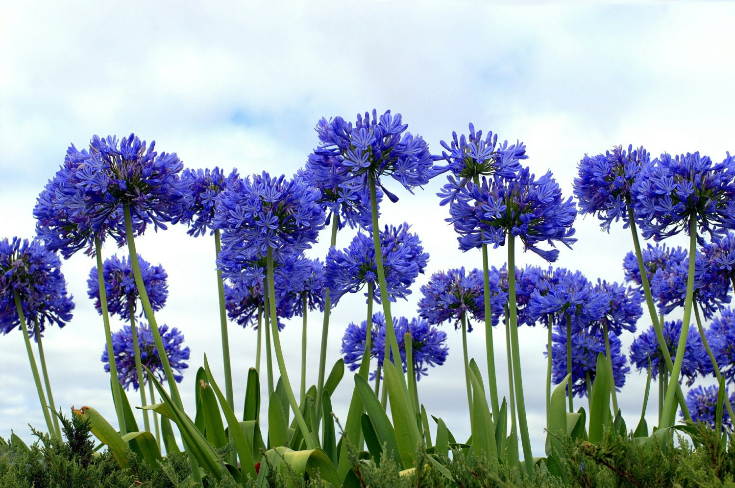 Lily Of The Nile Flowers Seeds Blue African Lily Agapanthus Etsy