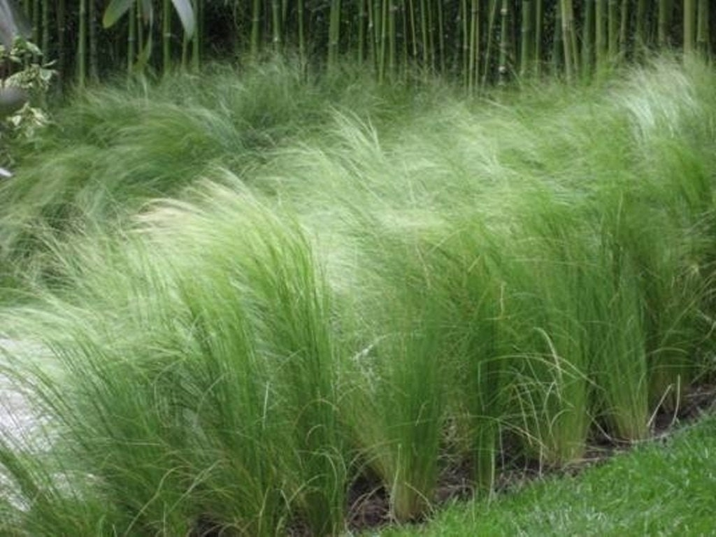 mexican feather grass seeds stipa tenuissima also called