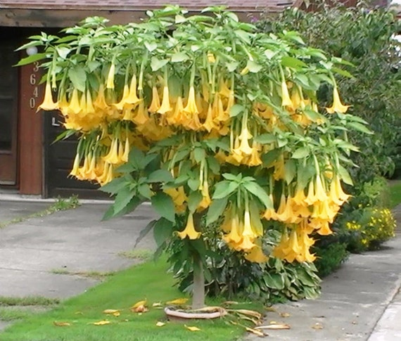 Angel trumpet yellow brugmansia seeds huge fragrant etsy image 0 mightylinksfo