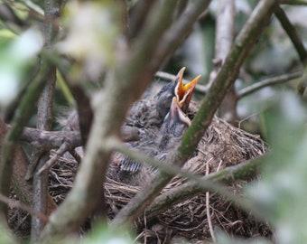 Baby Birds in Nest Digital Download