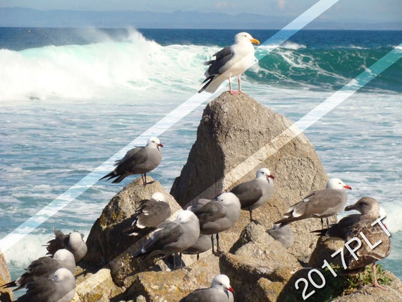 Seagulls of Monterey