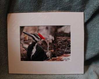 Pileated Woodpecker - 8x10 Matted Print