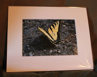 Tiger Butterfly - 8x10 Matted Print
