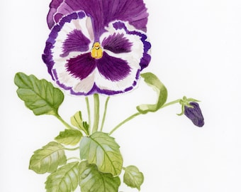 Botanical giclee print from a water colour painting of a pansy