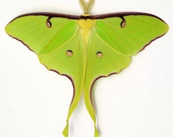 lunesta moth commercial