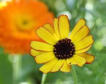Golden Daisy Fine Art Photographic Blank Greetings Card
