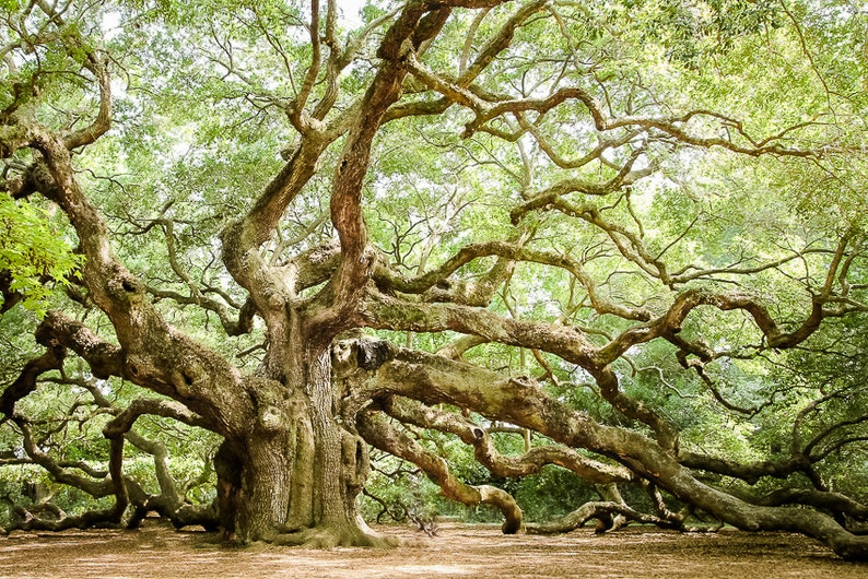 Angel Oak, Charleston Art, Oak Tree Print, Live Oak Tree, Low Country  Landscape, Nature Photography, Green Wall Decor, Tree -