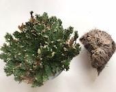 Resurrection Flower Rose of Jericho -LARGE - Natural moss spike fern plant prosperity spells money spell success wealth